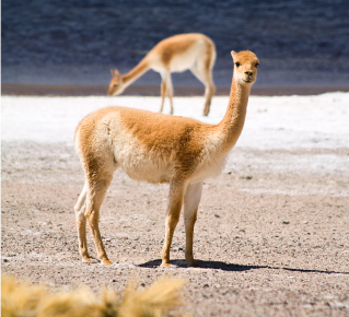 Vicuña camelid on sand | Santa Fe Dry Goods & Workshop