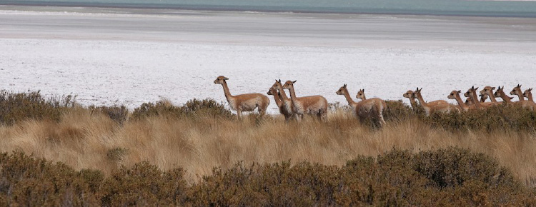 Heard of Vicuña near river in Andes Mountains in Bolivia | Santa Fe Dry Goods & Workshop