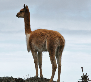 Vicuña camelid near water | Santa Fe Dry Goods & Workshop