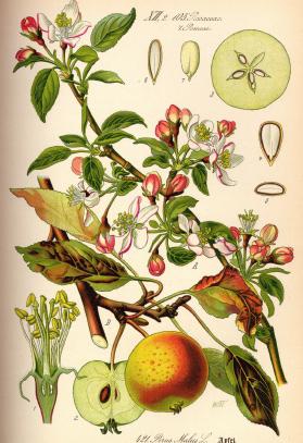 Illustration Malus domestica | Santa Fe Dry Goods & Workshop